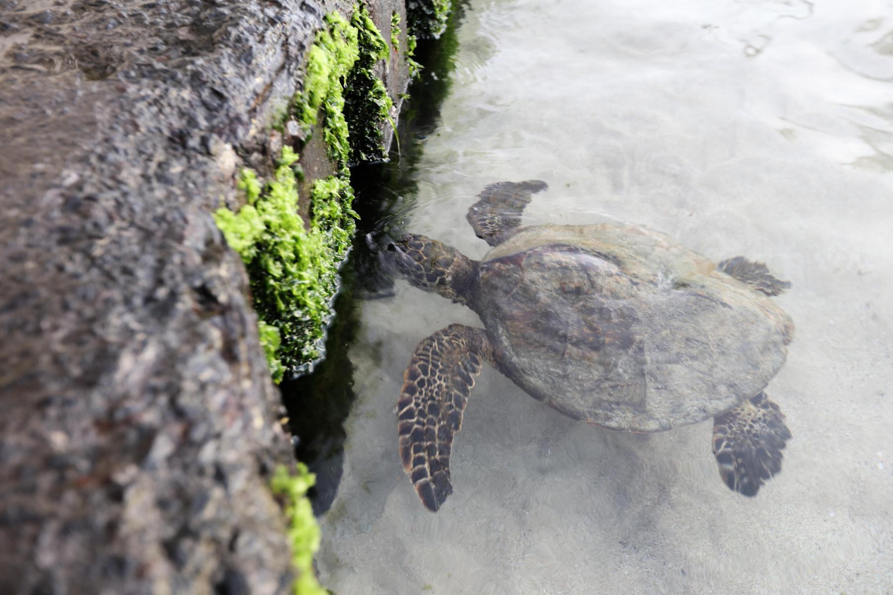 Während Schildkröten, die zum Frühstücken an den Pier kommen, als Glücksbringer gelten, …