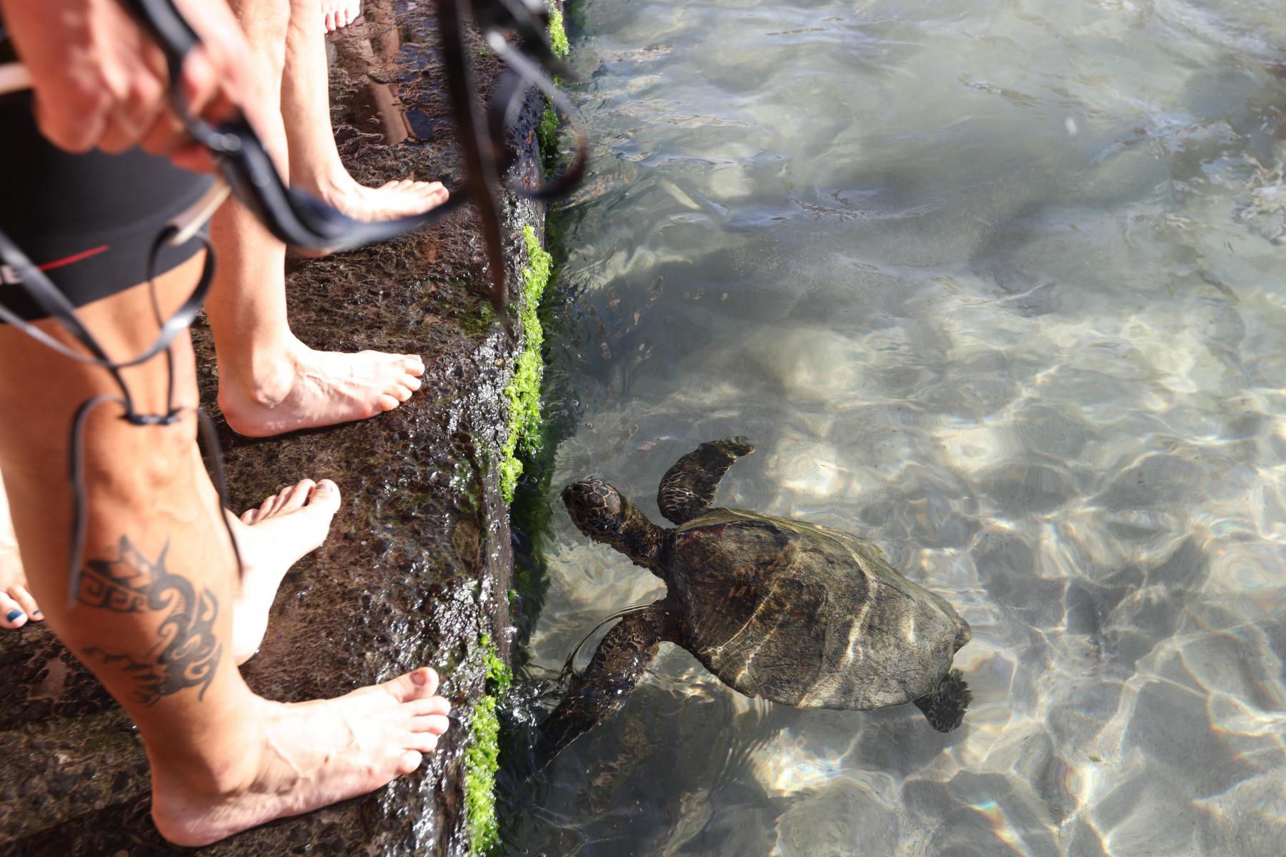 Immer noch begeistert von ihrem Frühstück und frei von Angst: die Schildkröte.